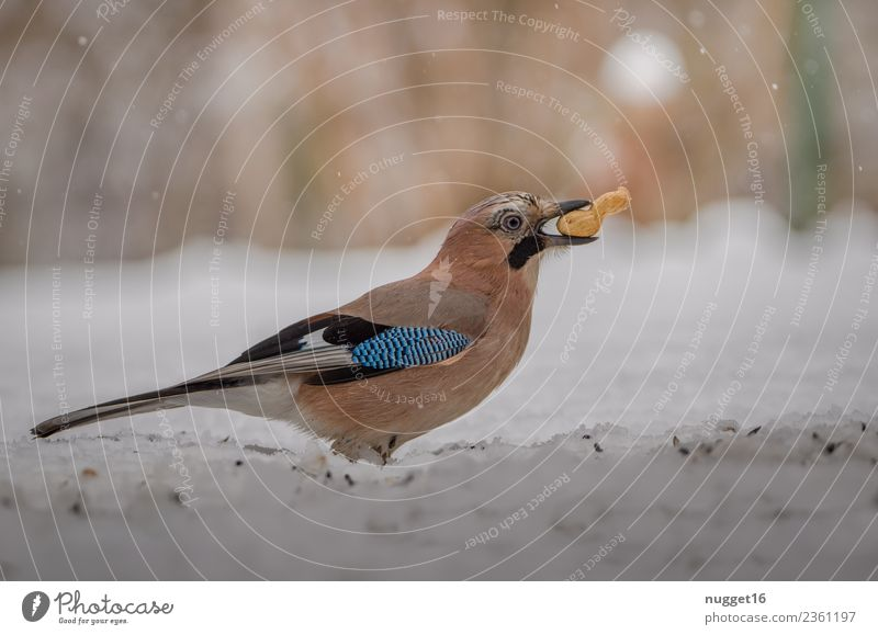 Jay with peanut Environment Nature Landscape Animal Autumn Winter Beautiful weather Ice Frost Snow Snowfall Bushes Garden Park Meadow Forest Wild animal Bird