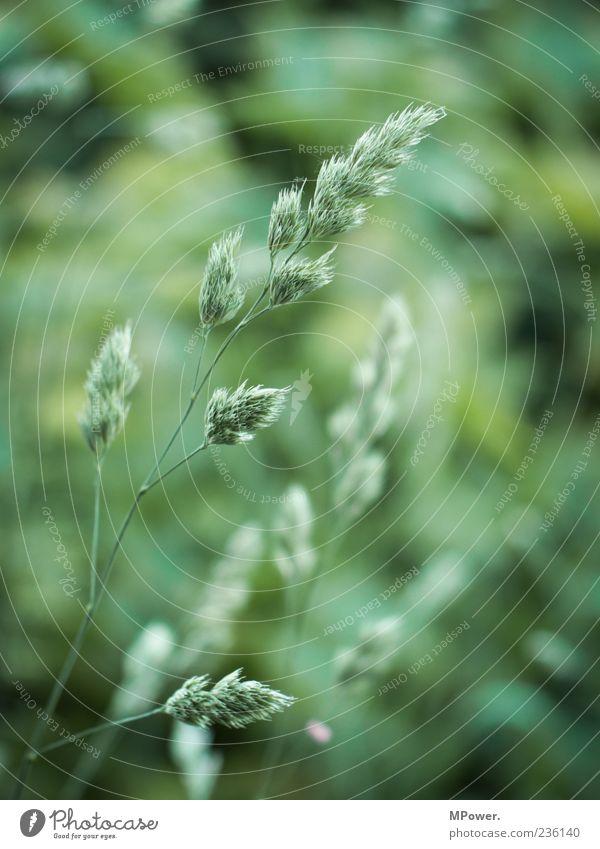 Green Plant Grass Grass blossom