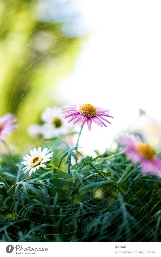 Nature White Beautiful Plant Summer Flower Environment Blossom Pink Growth Blossoming Marguerite Spring fever