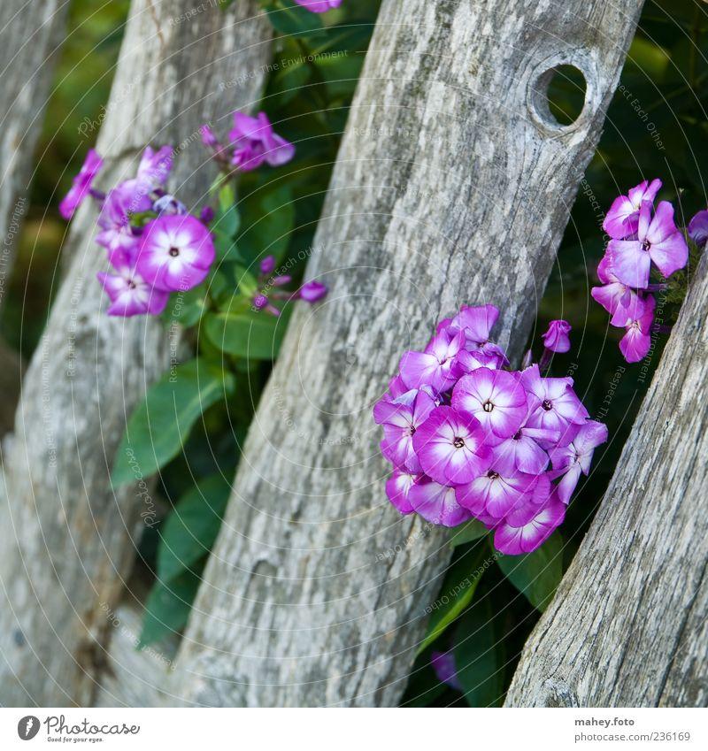 Green Plant Summer Flower Wood Gray Blossom Violet Fence Garden fence Phlox