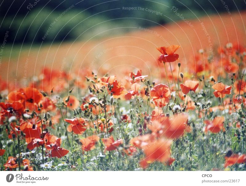 Flower Summer Meadow Poppy Flower meadow Poppy field