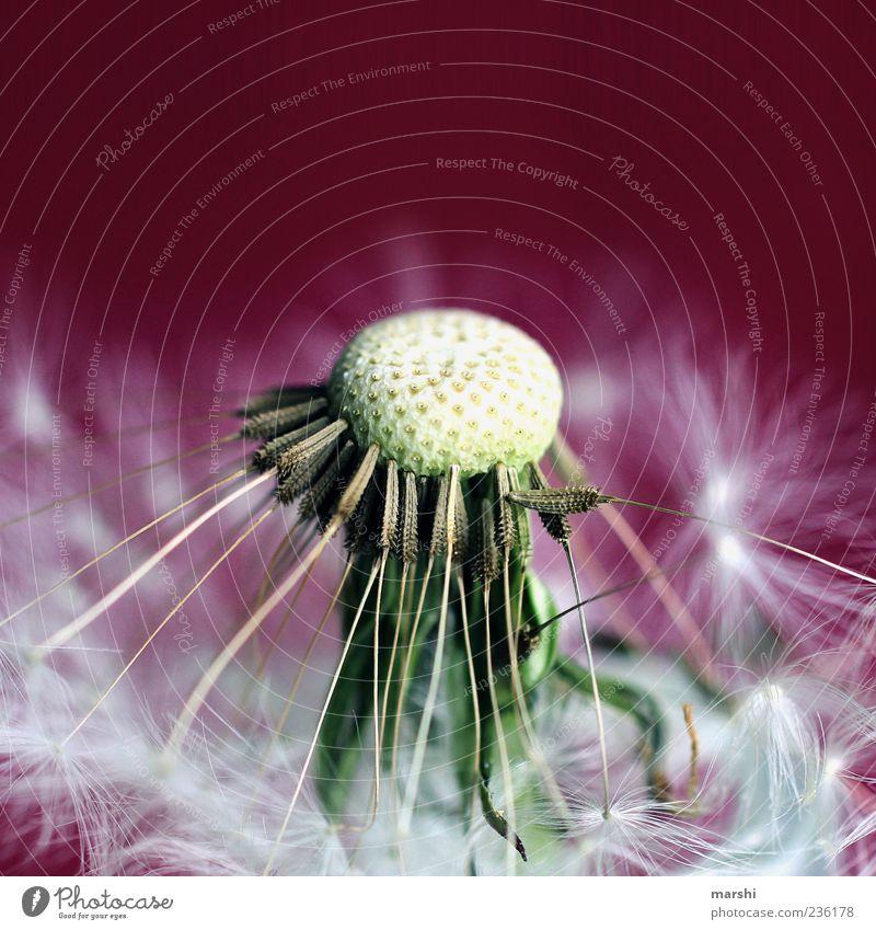 Nature Beautiful Plant Summer Flower Spring Violet Dandelion Seed Foliage plant Magenta Pistil