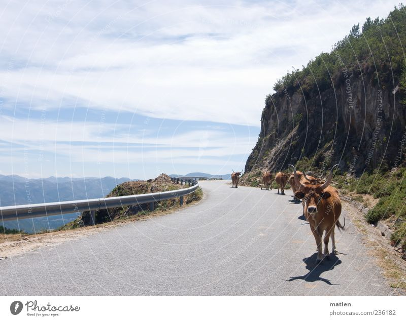 caravana Pet Farm animal Cow Herd Walking Hiking Hot Bright Blue Brown Gray Serene Lanes & trails Street Rock Sky Clouds Traverse Mountain Subdued colour