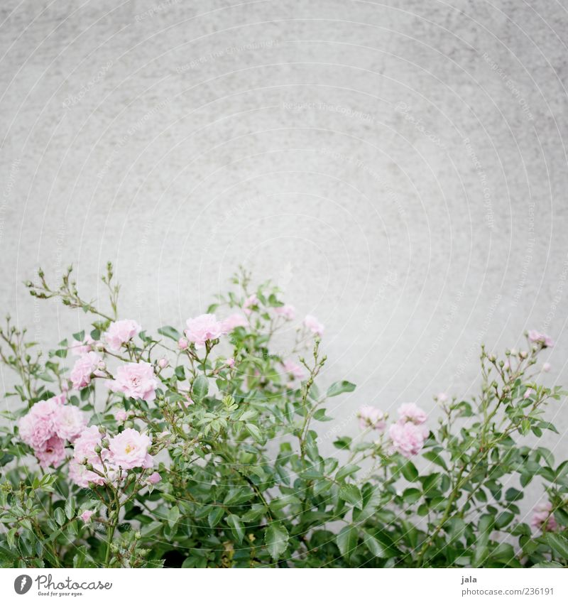 Pink Roses Nature Plant Flower Leaf Blossom Wall (barrier) Wall (building) Facade Esthetic Beautiful Colour photo Exterior shot Deserted Copy Space top