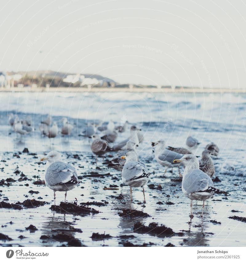 Seagulls on the beach of Binz, Island of Rügen Animal Bird Group of animals Flock Rebellious Gull birds Beach Winter Cold Winter walk Walk on the beach