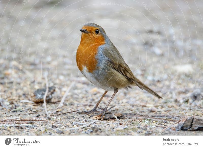 European robin Life Garden Education Science & Research Breasts Nature Animal Tree Forest Wild animal Bird 1 Feeding Small Cute Red White Colour Freedom branch