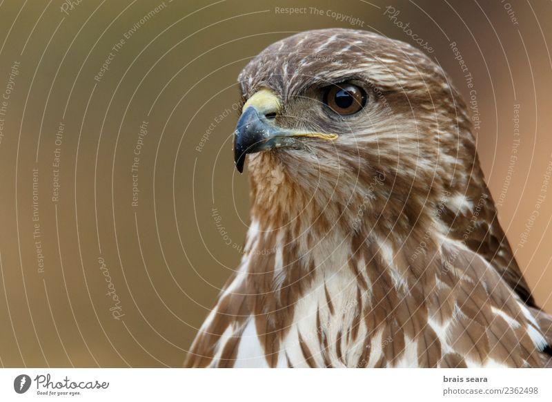 Common Buzzard Tourism Adventure Freedom Science & Research Nature Animal Wild animal Bird Animal face 1 Observe Hunting Elegant Astute Brown Determination