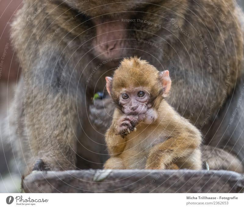 Baby monkey with hamster cheeks Nutrition Infancy Nature Animal Sun Wild animal Animal face Pelt Paw Monkeys Barbary ape Young monkey Eyes Fingers 2 Baby animal
