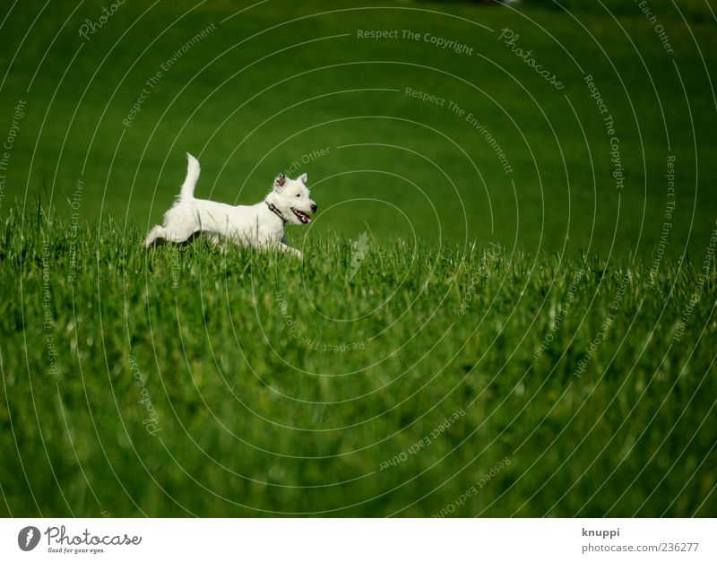 Dog White Green Animal Meadow Playing Grass Jump Baby animal Wild Pelt Running Brash Pet Terrier