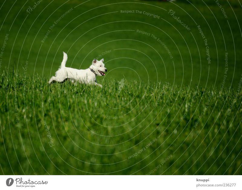 Dog White Green Animal Meadow Playing Grass Jump Baby animal Wild Pelt Running Brash Pet Terrier