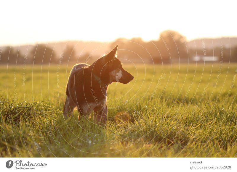 Young German shepherd dog in the light of the setting sun Environment Nature Landscape Sun Sunrise Sunset Spring Summer Grass Meadow Animal Pet Farm animal Dog