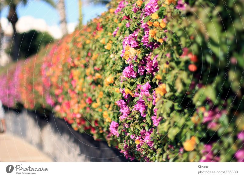 miraculous plant... Plant Summer Beautiful weather Bougainvillea Blossoming Yellow Green Violet Red Colour photo Exterior shot Deserted Day Sunlight
