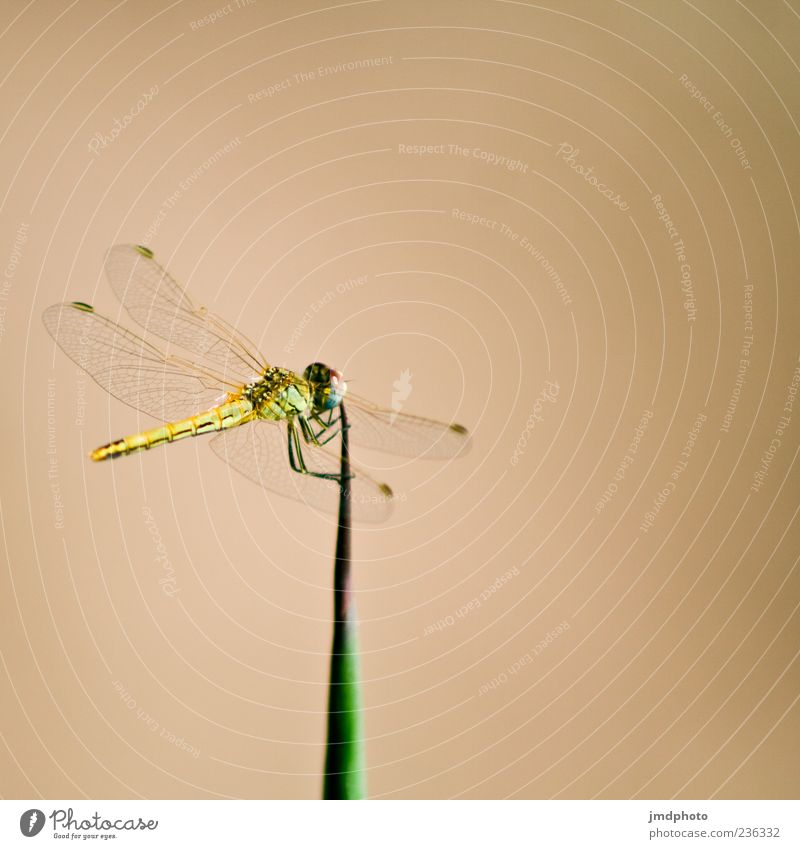 Level II Animal Dragonfly Dragonfly wings Insect 1 Wing Blade of grass Colour photo Exterior shot Detail Day Animal portrait Neutral Background Deserted