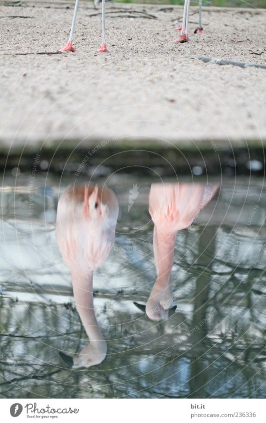 Nature Blue Water Animal Environment Sand Lake Pink Pair of animals Exceptional Lakeside Exotic Beak Distorted Inverted Flamingo