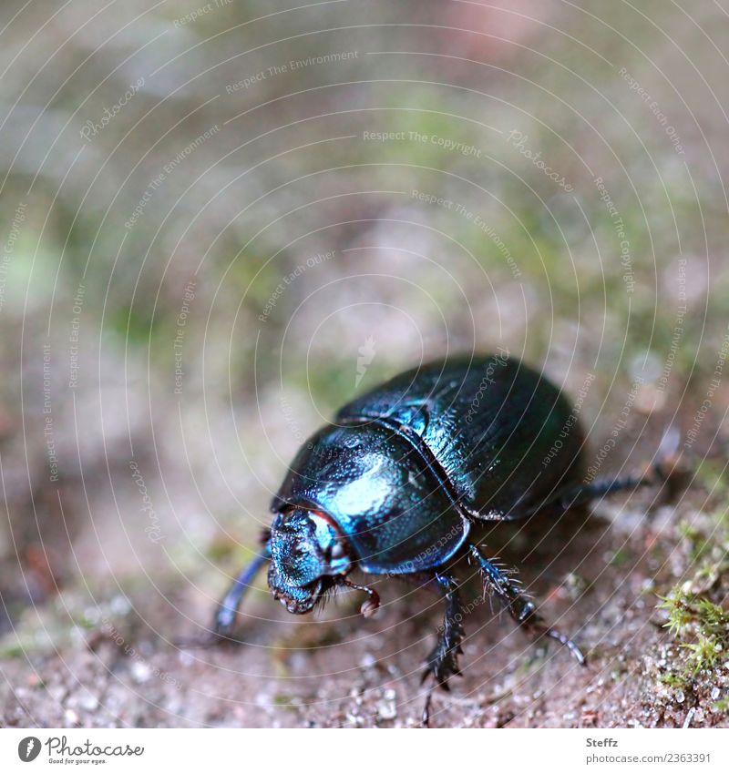 scarab Nature Woodground Ground Animal Beetle dung beetle Insect Legs 1 Crawl Glittering Small Black Forest atmosphere Blur Macro (Extreme close-up)