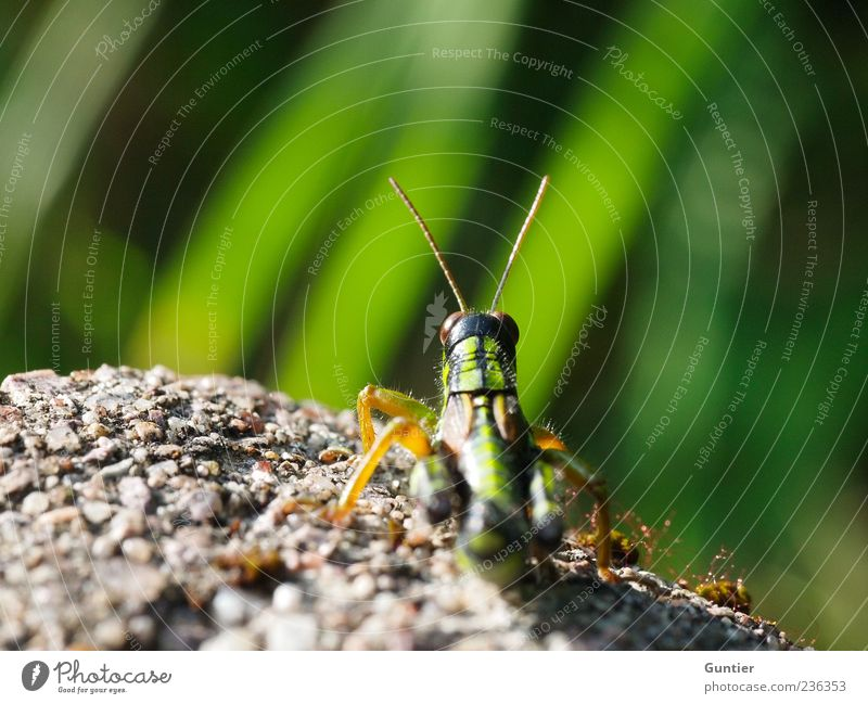 Green Animal Black Yellow Eyes Grass Gray Stone Legs Wild animal Wait Observe Insect Sunbathing Feeler Locust