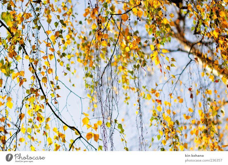 autumn Plant Cloudless sky Tree Leaf Blue Brown Yellow Gold Autumn Autumn leaves Autumnal Autumnal colours Birch leaves Birch tree Colour photo Exterior shot