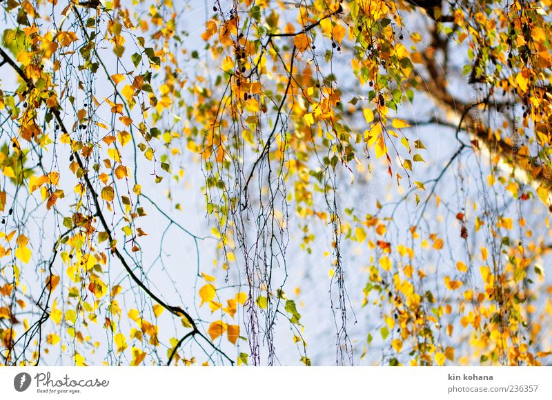 Blue Tree Plant Leaf Yellow Autumn Brown Gold Beautiful weather Autumn leaves Cloudless sky Autumnal Blue sky Autumnal colours Birch tree Weeping willow