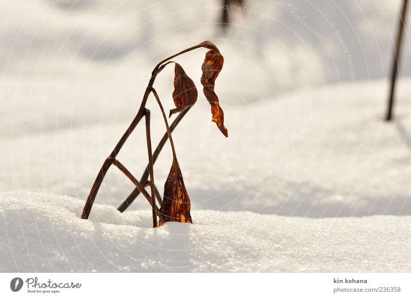 Nature White Plant Winter Leaf Snow Brown Gold Glittering Snowscape Limp Snow layer Winter light