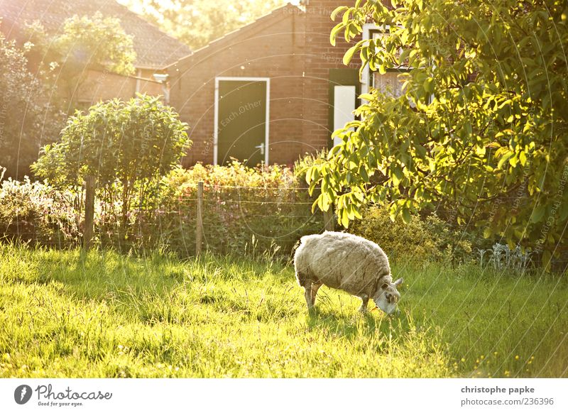 Sun in sheep's clothing Vacation & Travel Tourism Summer Spring Grass Garden Meadow Village Farm animal 1 Animal To feed Bright Warmth Contentment Lamb's wool