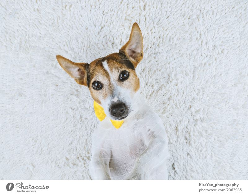 Young dog lying on white background with yellow tied bow Dog White Animal Joy Face Adults Lifestyle Yellow Funny Small Happy Copy Space Above Friendship Cute
