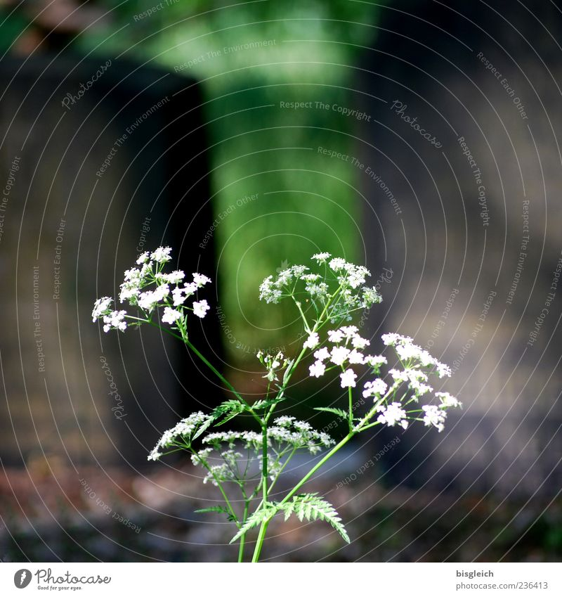 White Green Plant Death Life Blossom Stone Transience Delicate Cemetery Fine Resume Tombstone