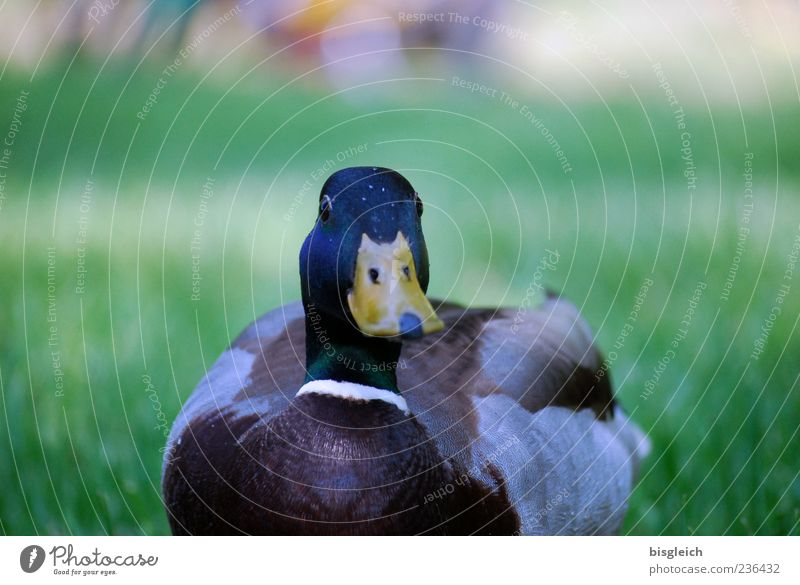 duck Duck 1 Animal Curiosity Meadow Beak Colour photo Exterior shot Deserted Copy Space top Day Shallow depth of field Nature Grass Feather Plumed