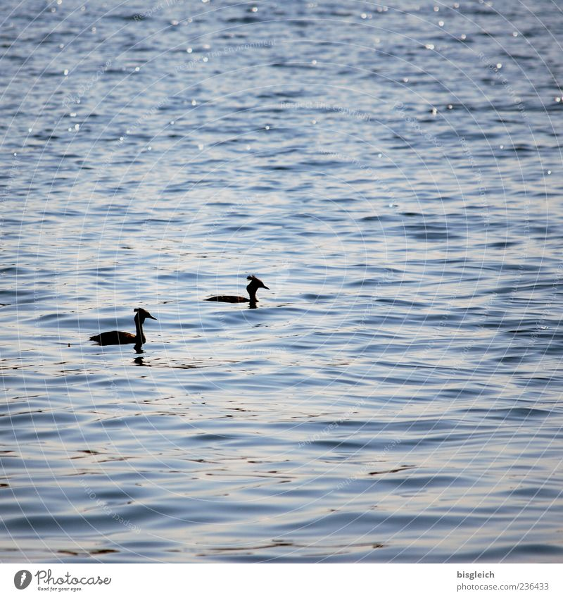 Great Crested Grebe Waves Lake Crested grebe 2 Animal Swimming & Bathing Blue Idyll Calm Water Colour photo Subdued colour Exterior shot Copy Space right