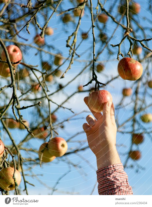 I'll pick you something... Food Fruit Nature Autumn Tree Blue Yellow Red Pick Apple tree Branch Hand Delicious Apple harvest Colour photo Exterior shot Twig