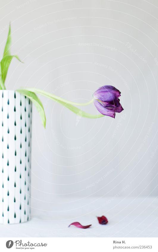 White Flower Leaf Emotions Blossom Sadness Esthetic Lifestyle Grief Transience Violet Pain Tulip Still Life Concern Limp