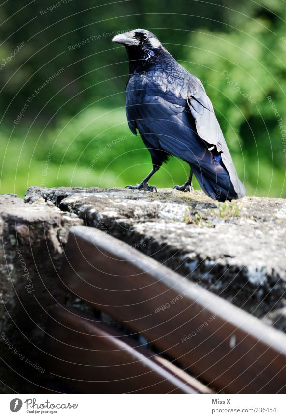 crow Park Animal Wild animal Bird 1 Looking Creepy Black Crow Raven birds Colour photo Exterior shot Deserted Shallow depth of field Animal portrait Stone