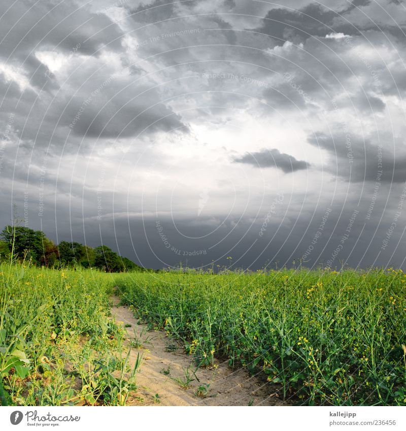 rap storm Environment Nature Landscape Plant Earth Sand Sky Clouds Storm clouds Agricultural crop Field Yellow Green Dangerous Thunder and lightning