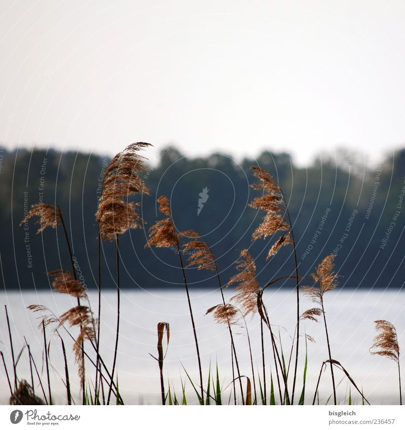 Reed at the lake I Common Reed Lakeside Scharmützel Lake Brown Delicate Wind Colour photo Subdued colour Exterior shot Deserted Copy Space top Day