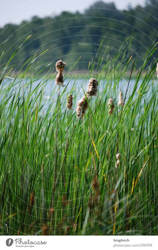 Reed at lake II Plant Common Reed Lake Lakeside Green Grass Wind Colour photo Exterior shot Copy Space top Copy Space bottom Day Nature Landscape Deserted