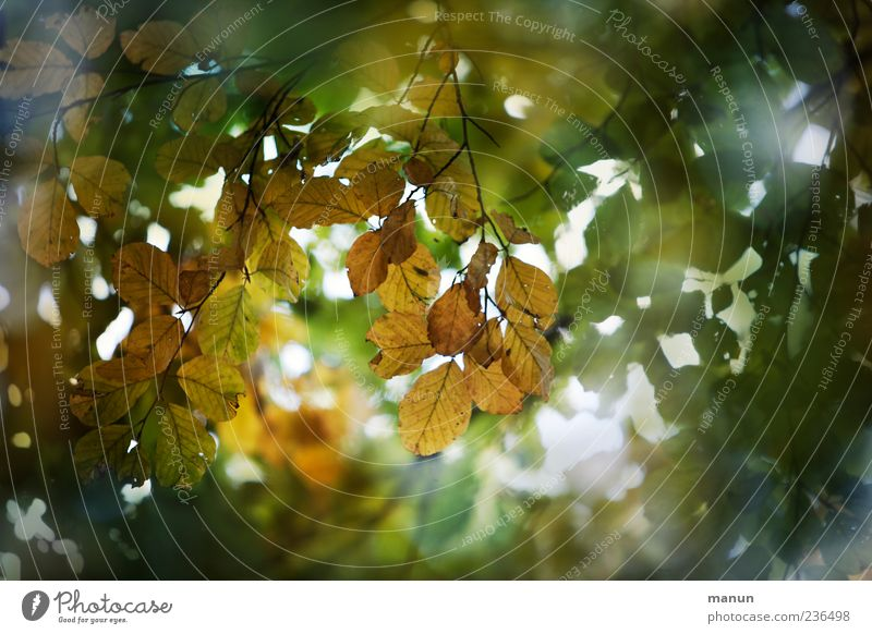 Nature Green Beautiful Tree Leaf Autumn Brown Autumnal Autumnal colours Twigs and branches Suspended Leaf canopy