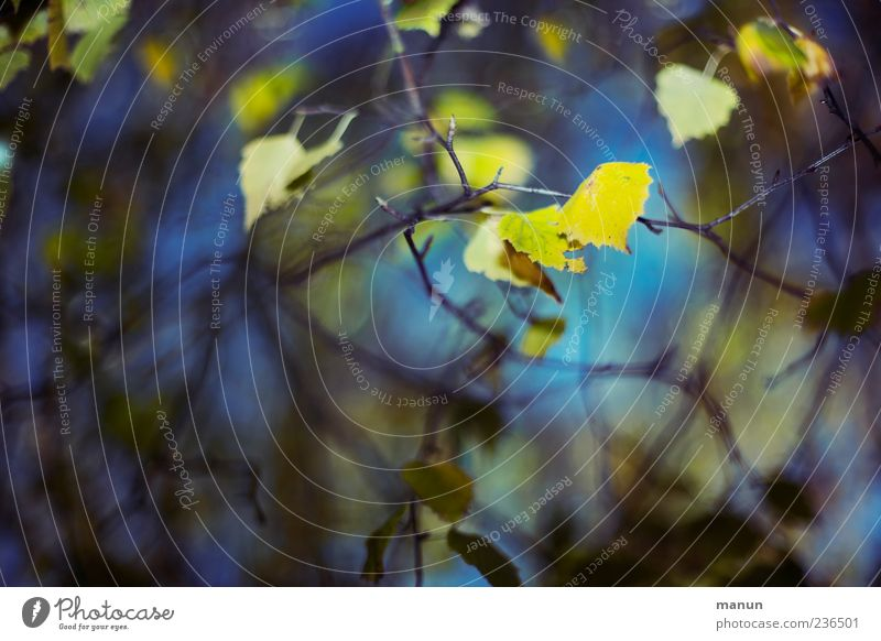 Photo with yellow birch leaves Nature Autumn Leaf Birch tree Twigs and branches Blue Yellow Colour photo Exterior shot Deserted Copy Space left Day Light