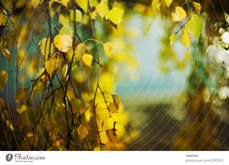 Photo with a lot of birch Nature Autumn Tree Leaf Birch tree Yellow Colour photo Exterior shot Deserted Copy Space right Day Autumnal Autumnal colours