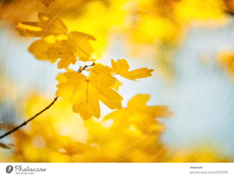 Nature Beautiful Leaf Yellow Autumn Bright Autumn leaves Autumnal Maple leaf Autumnal colours Seasons