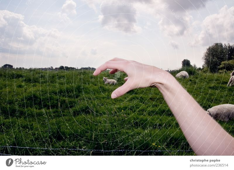 Hand Baby animal Funny Exceptional Perspective Arm Crazy Symbols and metaphors Grasp Farm animal Lamb Sacrifice Composing Sheep Action Free-range rearing