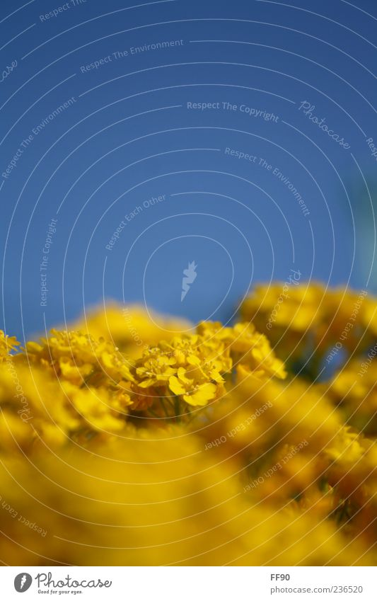 sunny prospects Nature Plant Sky Sunlight Spring Beautiful weather Flower Blossom Blue Yellow Colour photo Exterior shot Macro (Extreme close-up) Day Contrast