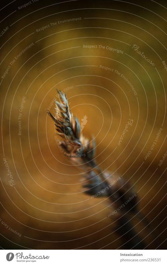 Brown Grain Ear of corn Agricultural crop