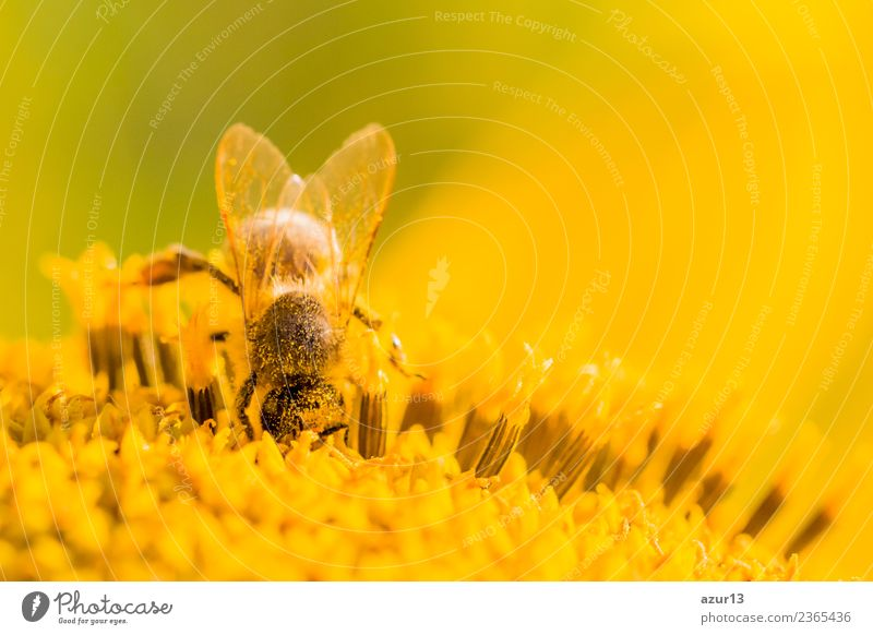 Macro honey bee collects deep yellow pollen on sunflower Body Hair and hairstyles Summer Environment Nature Plant Animal Sun Spring Climate Climate change