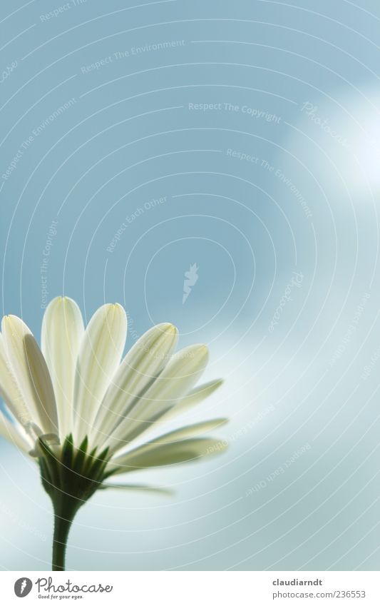 Sky Nature White Plant Summer Flower Clouds Spring Blossom Simple Blossoming Card Marguerite Blue sky Blossom leave