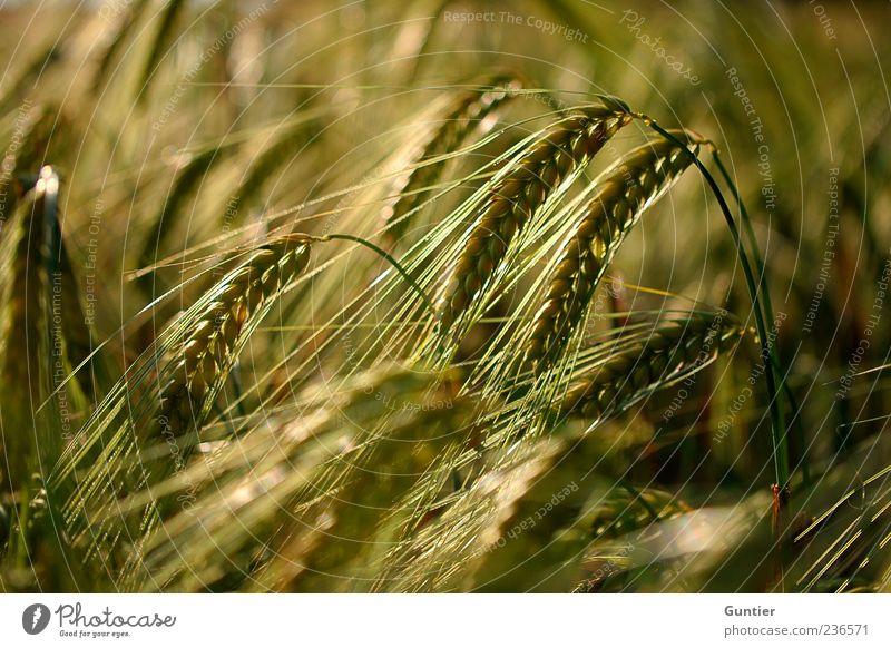 fields of grain Environment Nature Plant Grass Agricultural crop Grain field Ear of corn Field Brown Yellow Gold Black Food Nutrition Summer Organic farming