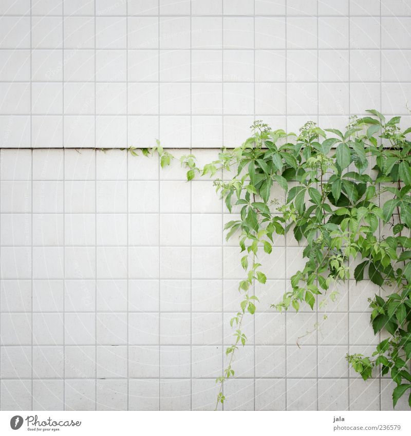 Nature Beautiful Plant Leaf Wall (building) Wall (barrier) Building Facade Wild Esthetic Growth Tile Foliage plant Creeper Environment Light