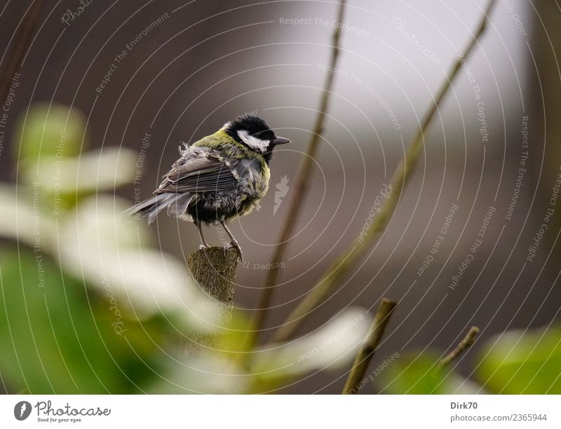 Tousled Great Tit Nature Animal Spring Plant Bushes Leaf Foliage plant Twigs and branches Garden Park Wild animal Bird Songbirds Tit mouse 1 Observe Looking Sit
