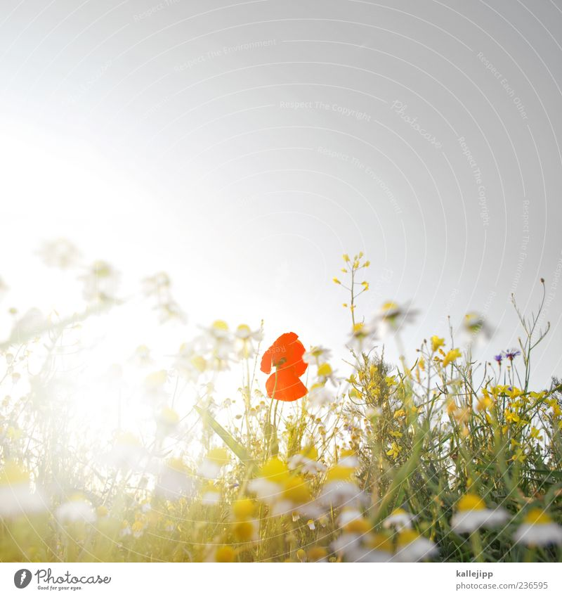 roxanne Lifestyle Environment Nature Landscape Plant Air Sky Cloudless sky Sun Sunlight Summer Flower Grass Leaf Blossom Foliage plant Wild plant Meadow Field