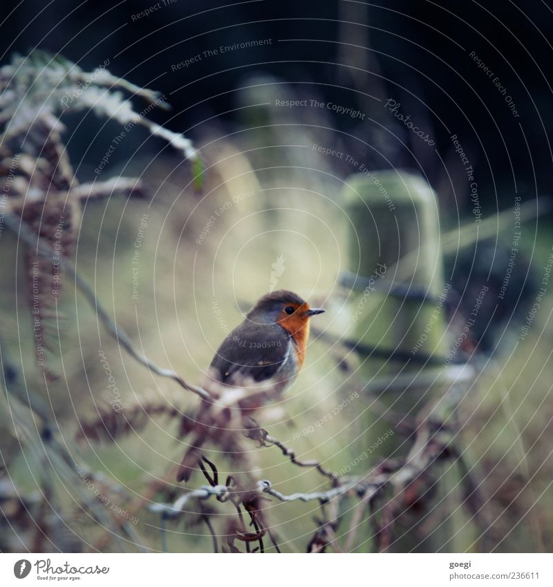 hobby ornithology Environment Nature Animal Foliage plant Field Bird Robin redbreast 1 Fence Fence post Sustainability Colour photo Deserted Copy Space top Day