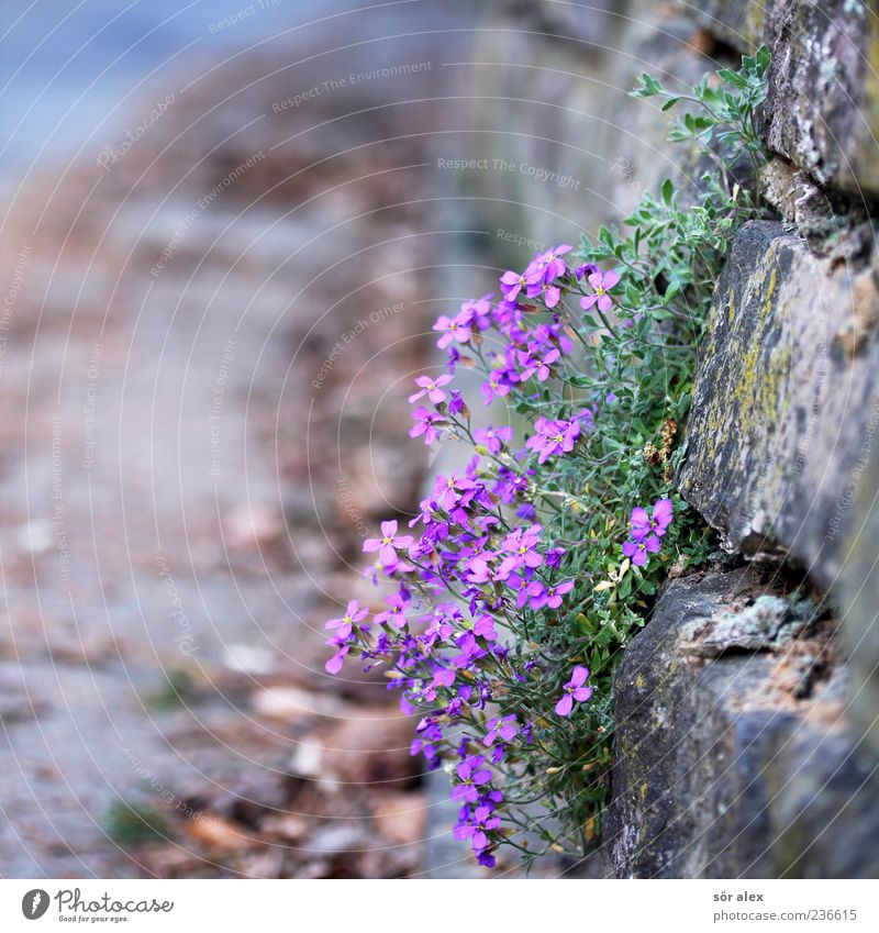 Beautiful Plant Flower Leaf Wall (building) Street Spring Wall (barrier) Blossom Stone Growth Decoration Violet Delicate Fragrance Sharp-edged