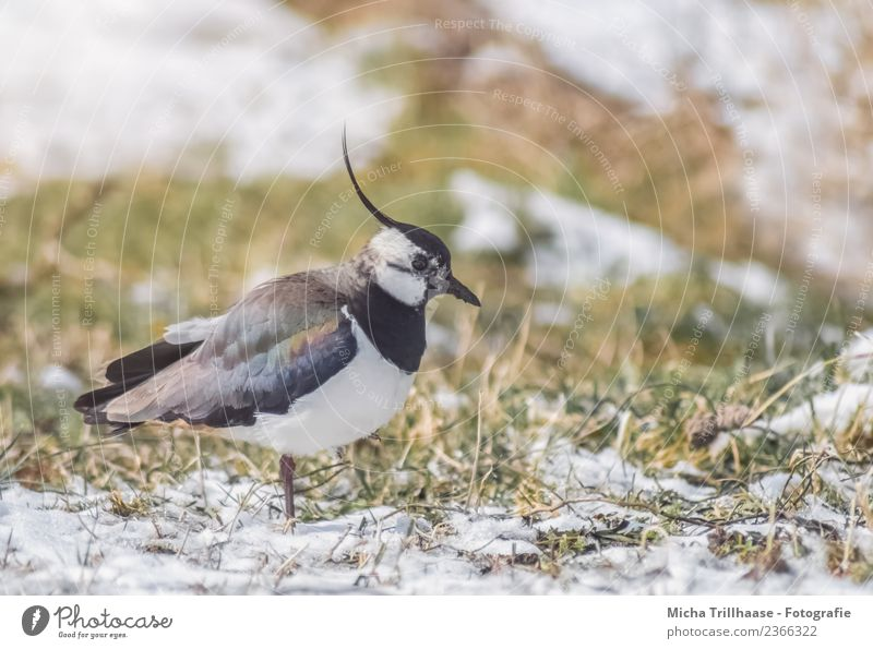 Lapwing on the meadow Environment Nature Animal Sun Winter Snow Grass Meadow Wild animal Bird Animal face Wing lapwing plover Beak bonnet Feather 1 To feed